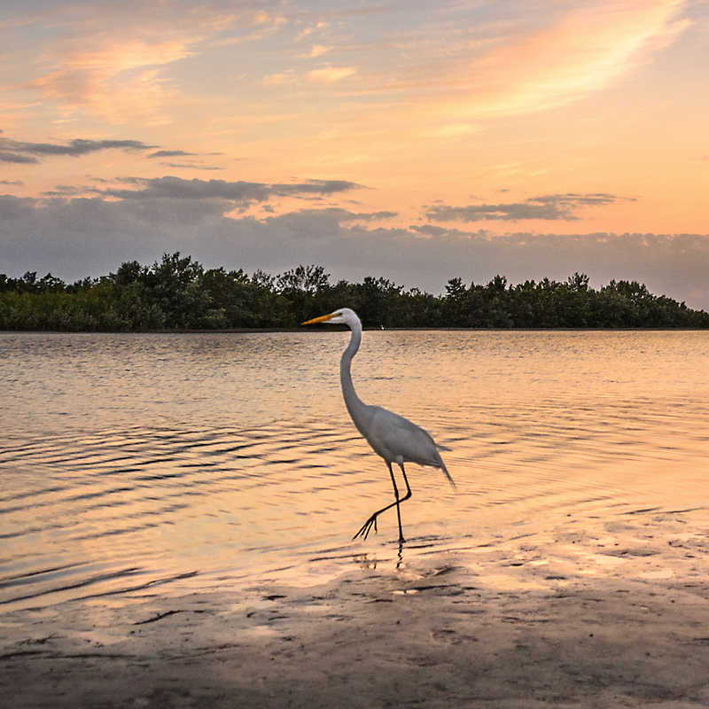 White egret in the water during sunset at Gulf State Park
