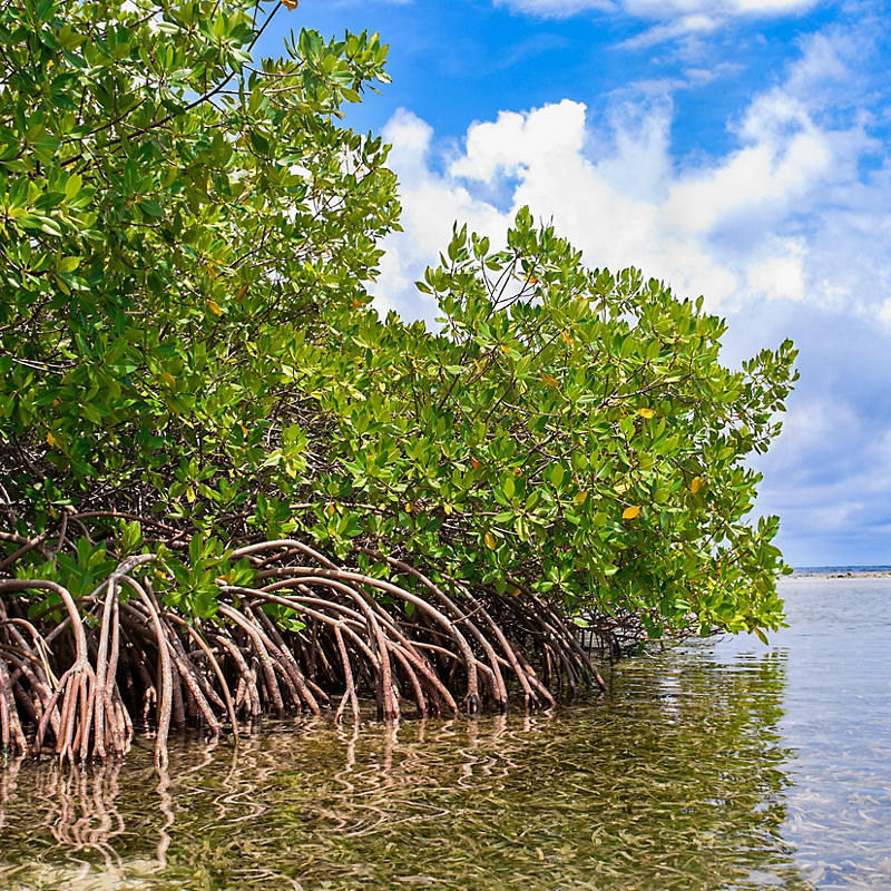 Florida Mangrove Forest and Shallow Waters