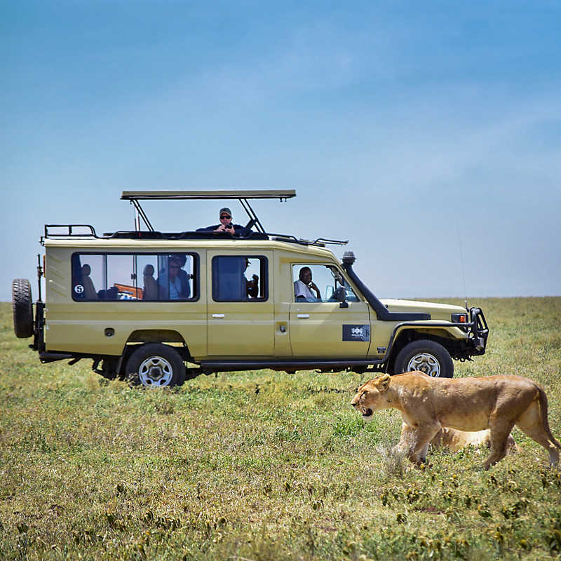 Tour vehicle while viewing a wild lion