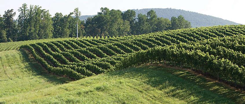 Wine vineyard in Gordonsville