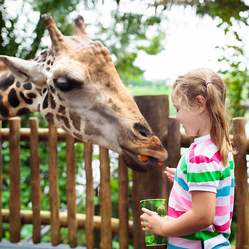 Girl feeding giraffe at Lowry Park Zoo