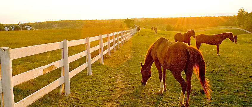 Horses in open field in Virginia
